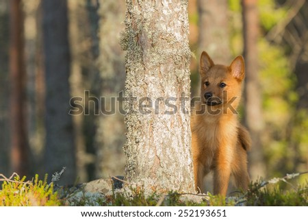 Young Finnish Spitz sits behind the pine tree - stock photo