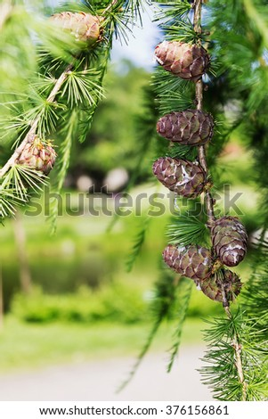 young fir cones on a branch in a summer park. selective focus - stock photo