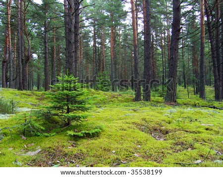 Young firs in pine forest. - stock photo