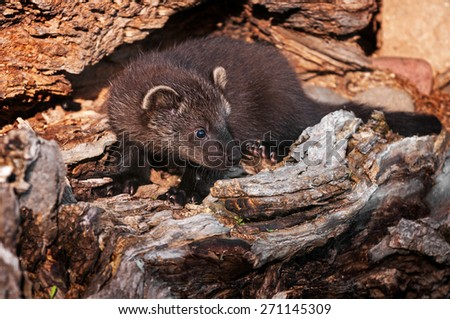 Young Fisher (Martes pennanti) in Log - captive animal - stock photo