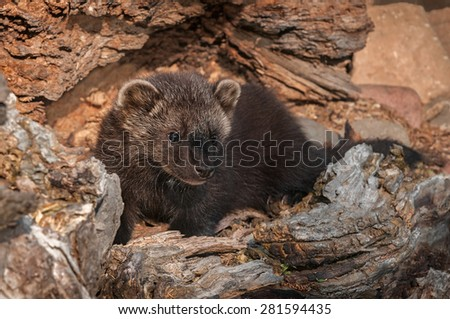 Young Fisher (Martes pennanti) Look Out from Inside Log - captive animal - stock photo