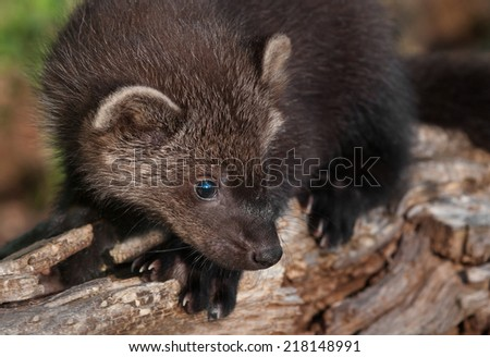 Young Fisher (Martes pennanti) on Log - captive animal