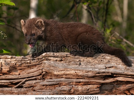 Young Fisher (Martes pennanti) Open Mouth on Log - captive animal - stock photo