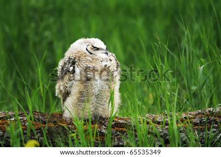 Young, fledgling Great Horned Owl perched - stock photo