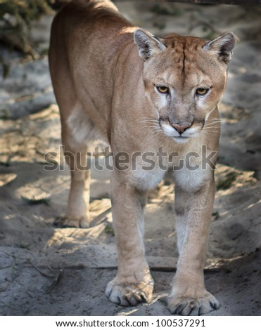 Young Florida Panther - stock photo