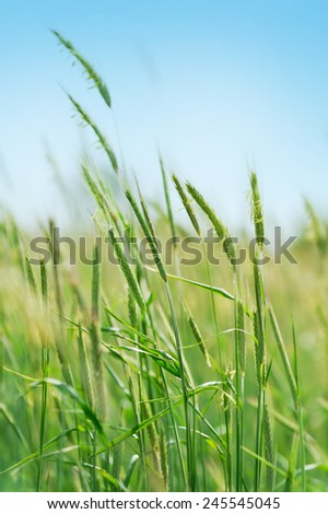 young flowering spikes in field with blue sky background - stock photo