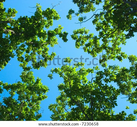 Young foliage on blue sky, oaks