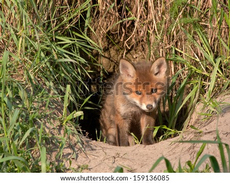 Young fox comes out of the hole. Red fox (Vulpes vulpes) 50 days old. - stock photo