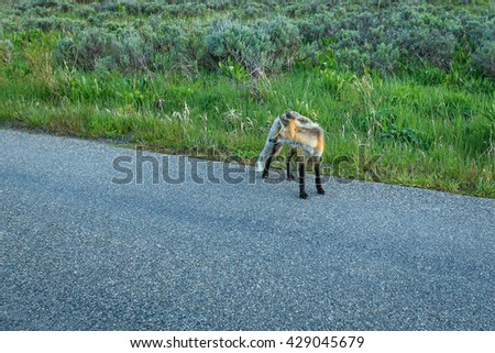 Young fox on a road at dawn in Wyoming, USA.