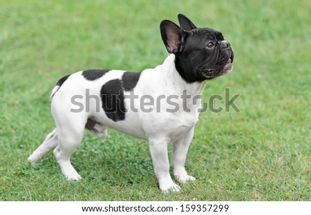 Young French Bulldog dog