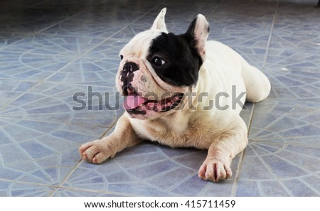 Young French Bulldog dog. - stock photo