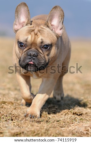 young French Bulldog puppie 11 months  in the field - stock photo