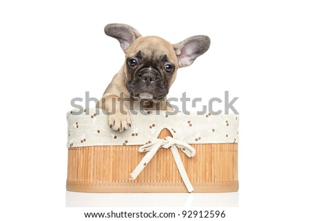 Young French bulldog puppy in basket. Closeup portrait on a white background - stock photo