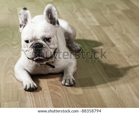 young french bulldog resting and showing the tongue on a wooden floor - stock photo