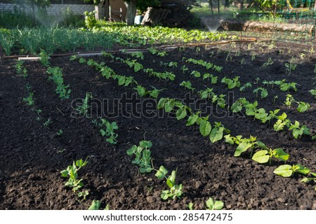 Young fresh green bean plants in a vegetable garden planted in neat rows n rich fertile soil symbolic of spring - stock photo