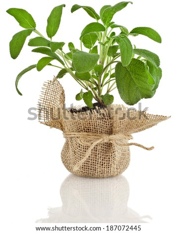 Young fresh sage salvia herb seedling growing in brown pot isolated on white background - stock photo