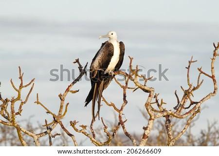 Young frigate bird in in North Seymour island, Galapagos, ecuador - stock photo