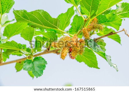 Young fruit and green leaf of mulberry - stock photo
