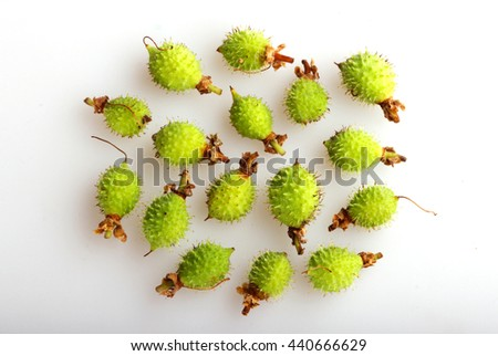 young fruit chestnut Castanea fallen on the ground - stock photo