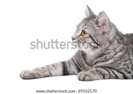 Young funny grey cat, isolated on white - stock photo
