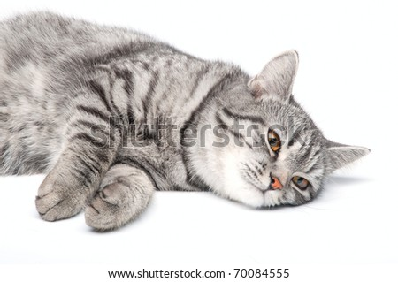 Young funny grey cat, isolated on white