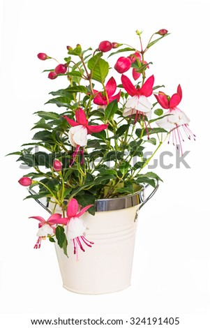 Young fushia plant growing in a container.  Variety is Swingtime - stock photo