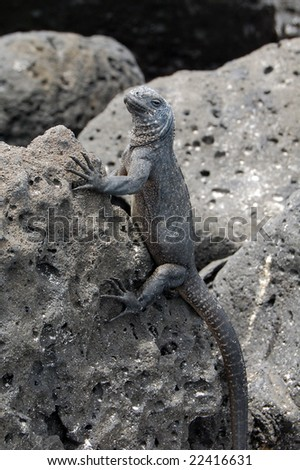 Young Galapagos marine iguana taking a sun bath in order to raise body heat. They become statues in the coast line of many beaches. - stock photo