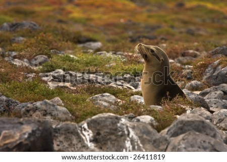 Young Galapagos sea lion backlit by the sun (Zalophus wollebaeki, South Plaza Island, Galapagos, Ecuador) - stock photo