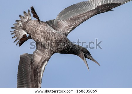 Young gannet diving for fish