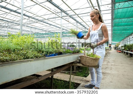 Young gardener woman collecting herbs into her basket, in a greenhouse