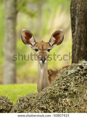 Young Gazelle Peeking - stock photo