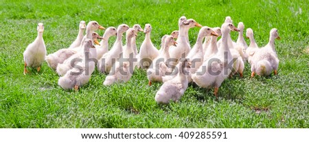 Young geese walking on the green grass - stock photo