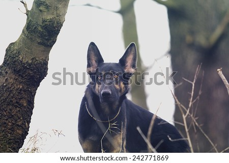 young german shepherd dog puppy in winter background