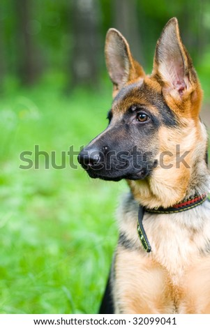 Young german shepherd sitting on a green background
