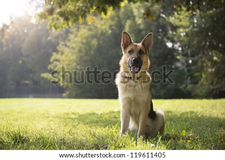 young german shepherd sitting on grass in park and looking with attention at camera - stock photo