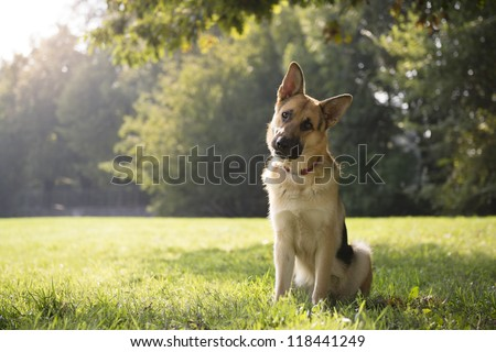 young german shepherd sitting on grass in park and looking with attention at camera, tilting head - stock photo
