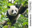 Young giant panda bear in tree - stock photo