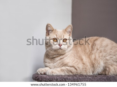 Young Ginger Cat Sat on Perch with Room for Text