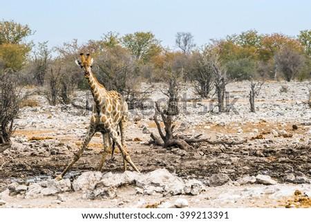 Young giraffe at Kalkheuwel waterhole in Etosha national park, Namibia. - stock photo