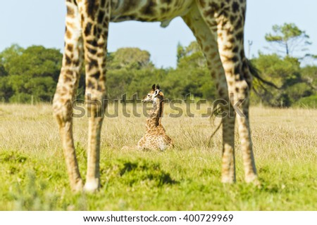 Young giraffe being viewed through its mothers legs while lying down - stock photo