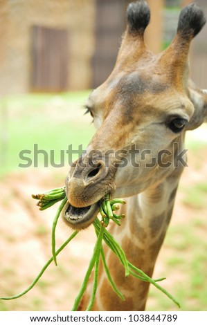 young giraffe eating beans in the open zoo. - stock photo