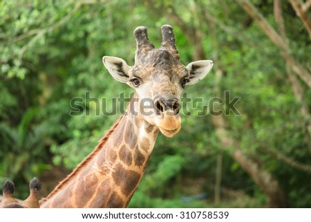 Young giraffe in green forest - stock photo