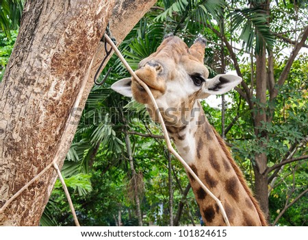 Young giraffe is gnawing the branch of tree. - stock photo