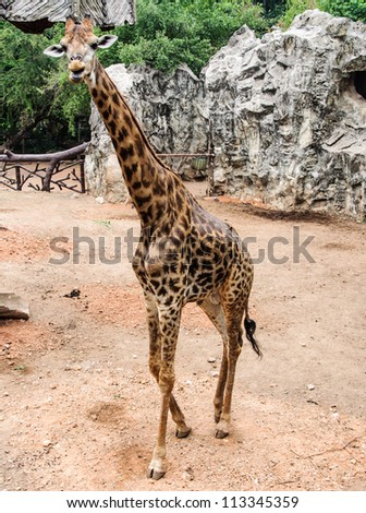 Young giraffe is walking on the ground of zoo. - stock photo
