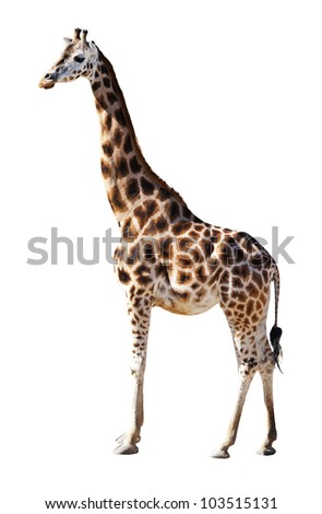 Young Giraffe isolated on the white background