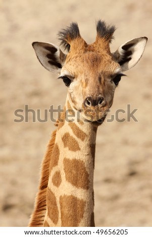 Young giraffe looking at you - stock photo