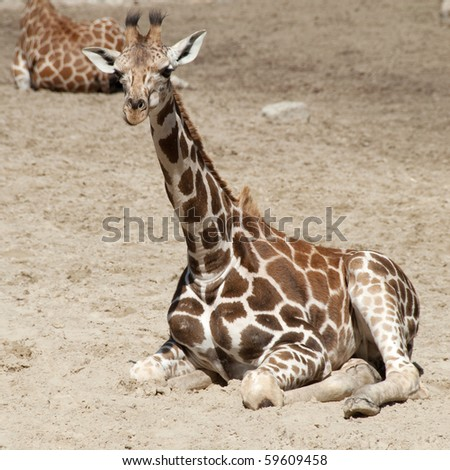Young giraffe lying in the sand - stock photo