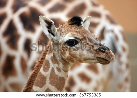 young giraffe - portrait
