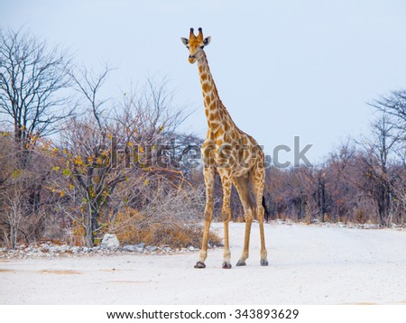 Young giraffe standing on the dusty road, Etosha National Park, Namibia - stock photo