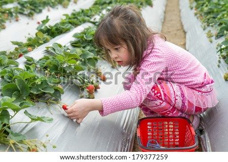 Young girl picking strawberries from patch - stock photo